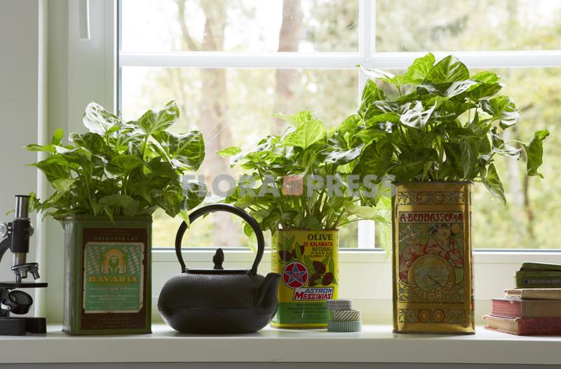 Wohnen mit Pflanzen - Purpurtüte (Syngonium) in drei schönen alten Blechdosen